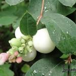 Symphoricarpos albus - Sneeuwbes/Klapbes - Symphoricarpos albus