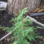 Juniperus communis 'Hibernica' - Jeneverbes