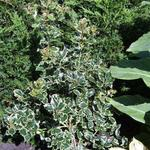 Ilex aquifolium 'Argentea Marginata'  - Ilex aquifolium 'Argentea Marginata'  - Hulst, zilverbonte hulst
