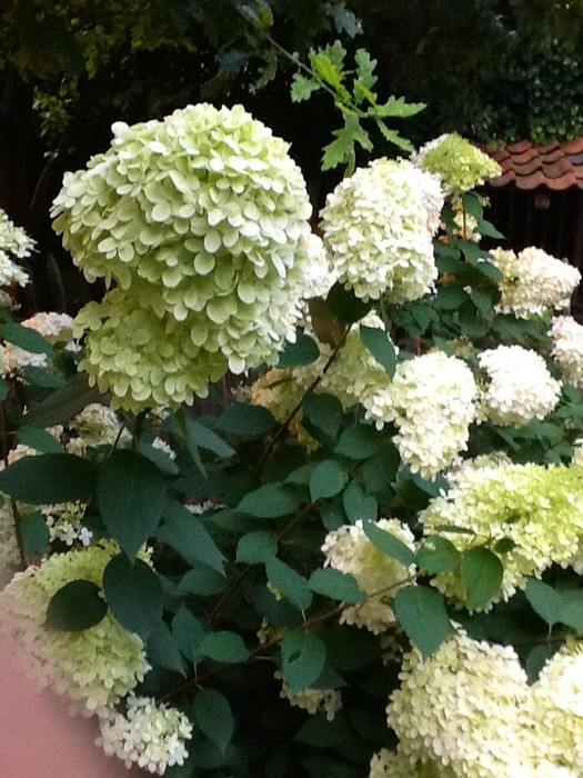 pluimhortensia hydrangea paniculata 39 limelight 39 planten online kopen. Black Bedroom Furniture Sets. Home Design Ideas