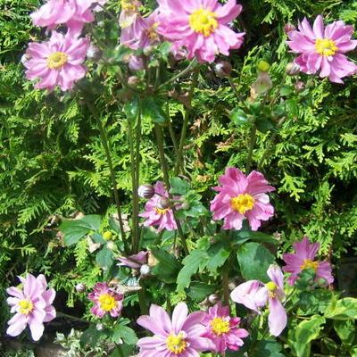 Anemone hupehensis 'PRETTY LADY Emily' -