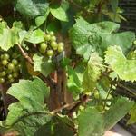 Vitis vinifera 'Muscat of Alexandria' - Muskaatdruif, witte druif - Vitis vinifera 'Muscat of Alexandria'