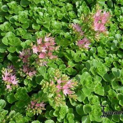 Sedum spurium - Kaukasische muurpeper, roze vetkruid - Sedum spurium