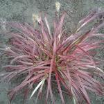Pennisetum setaceum 'Fireworks' - Pennisetum setaceum 'Fireworks' - Lampepoetsersgras