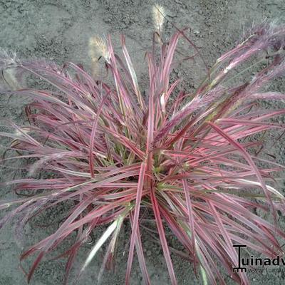 Pennisetum setaceum 'Fireworks' -