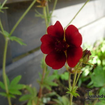 Potentilla thurberi 'Monarch's Velvet' -