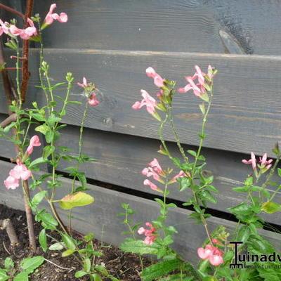 Salvia x jamensis 'California Sunset' -