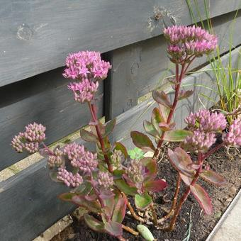 Sedum telephium 'Munstead Dark Red'