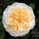 Rosa 'English Garden'  - Roos - Rosa 'English Garden'