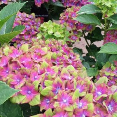 Hydrangea macrophylla 'Schloss Wackerbarth'  -