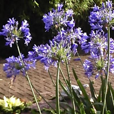 Agapanthus 'Headbourne Hybrids' - Afrikaanse lelie - Agapanthus 'Headbourne Hybrids'