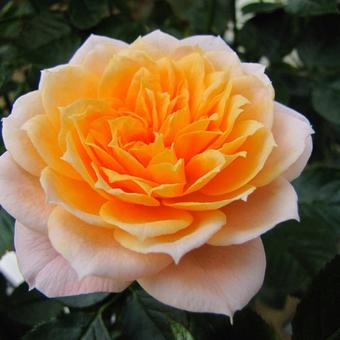 Rosa 'Royal Orange'