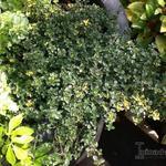 Thymus x citriodorus 'Sambesi' - Thymus x citriodorus 'Sambesi' - Citroentijm