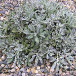 Achillea clavenae - Achillea clavenae - Duizendblad