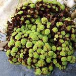 Saxifraga cebennensis -