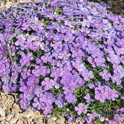 Phlox kelseyi 'Lemhi Purple' -