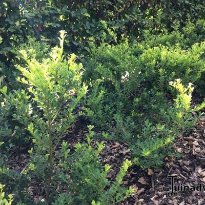 Japanse hulst - Ilex crenata 'Green Hedge'