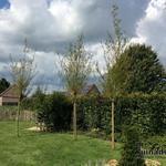 Salix alba 'Chermesina' - Wilg, Knotwilg,Schietwilg - Salix alba 'Chermesina'