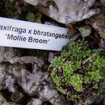 Saxifraga x bhratangensis 'Mollie Broom' -