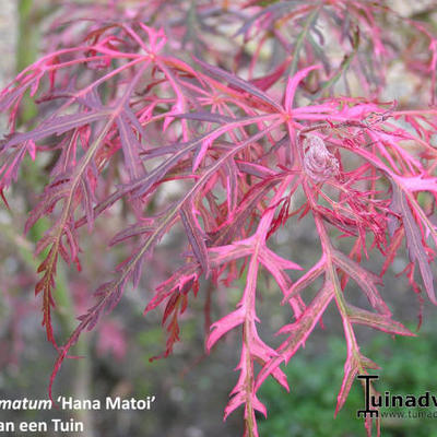 Acer palmatum 'Hana Matoi' -