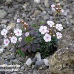 Androsace himalaica - Androsace himalaica - Rotsjasmijn