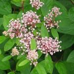 Ceanothus x pallidus 'Marie Simon' - Amerikaanse sering - Ceanothus x pallidus 'Marie Simon'