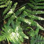 Dryopteris hondoensis - Dryopteris hondoensis - Schildvaren