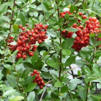 Pyracantha coccinea 'Red Column'