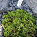 Silene acaulis 'Francis' - Silene acaulis 'Francis' - Alpenlijmkruid