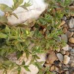 Aptenia cordifolia  - Aptenia cordifolia  - IJskruid, Sodaplant