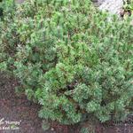 Pinus mugo 'Humpy' - Pinus mugo 'Humpy' - Bergpijnboom