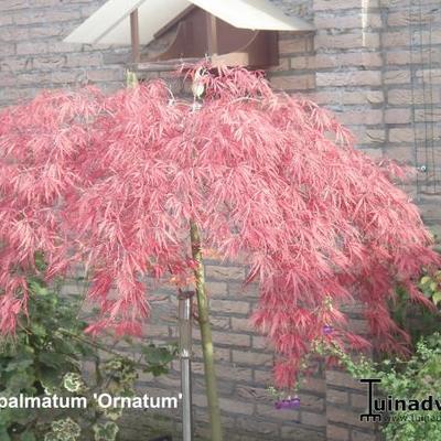 Acer palmatum 'Ornatum' -