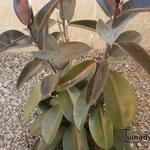 Ficus elastica - Ficus elastica - Rubberplant