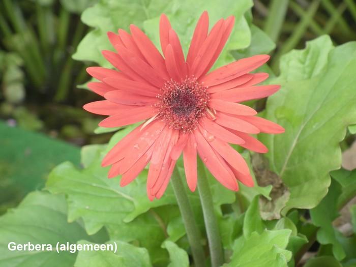 Gerbera gerbera for Gerbera in de tuin