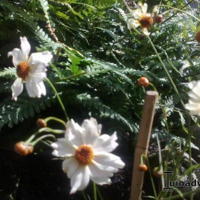 Coreopsis COLOROPSIS 'Limbo' -