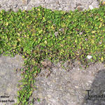 Leptinella minor  - Leptinella minor  - koperen knoop