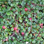 Cotoneaster 'Streib's Findling' - Dwergmispel - Cotoneaster 'Streib's Findling'