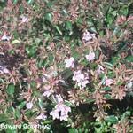 Abelia - Abelia x grandiflora 'Edward Goucher'