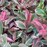 Glansmispel - Photinia x fraseri 'Pink Marble'