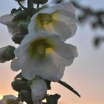 Stokroos - Alcea rosea 'Alba'