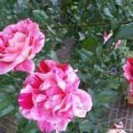 Rosa 'Rachel Louise Moran'  - Roos - Rosa 'Rachel Louise Moran'