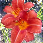 Hemerocallis 'Chicago Fire' - Daglelie