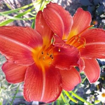 Hemerocallis 'Chicago Fire'