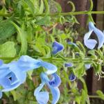 Salvia patens 'Cambridge Blue' - Salie