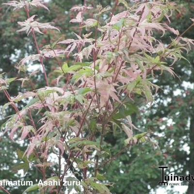 Acer palmatum 'Asahi zuru' -
