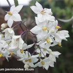Solanum jasminoides 'Album' - Klimmende Nachtschade - Solanum jasminoides 'Album'