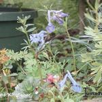 Corydalis 'Kingfisher' - Helmbloem