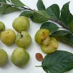 Prunus domestica 'Reine Claude d'Oullins' - Pruimelaar