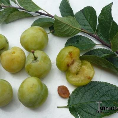 Prunus domestica 'Reine Claude d'Oullins' -