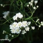 Duizendblad / Wilde bertram - Achillea ptarmica